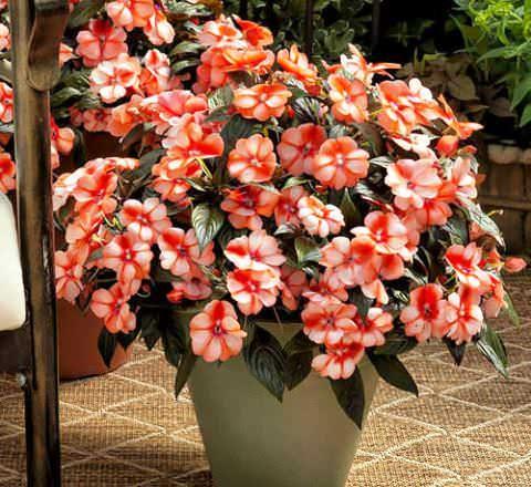 Красивые лилии цветы фото
