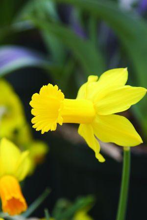 Brent And Becky S Bulbs Daffodil Narcissus Tweety Bird Garden Bulbs Daffodils Spring Perennials