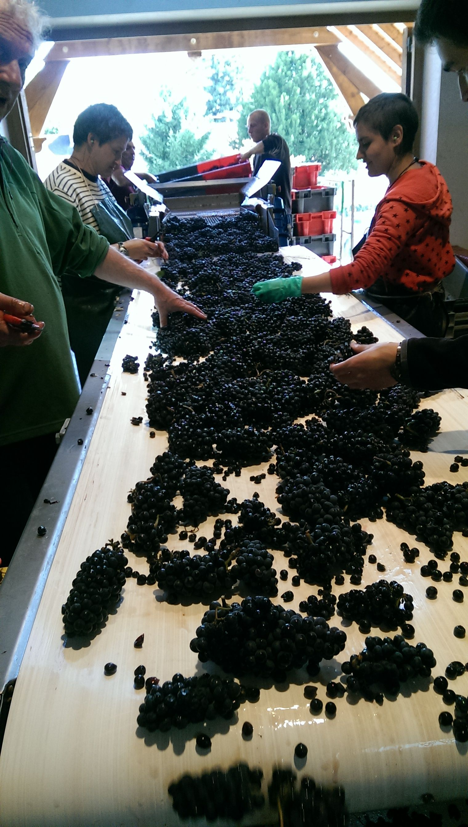 Picking begins in Burgundy : Sorting table at Domaine Gouges but very little to sort !  September 2015.