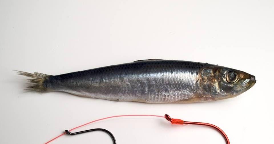 موقع متخصص فى طرق صيد الأسماك و انواع الطعم المناسب ومعدات الصيد Fish Blog Posts