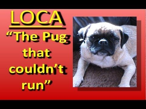 Loca The Pug Who Couldn T Run Pugs Animals Pug Love
