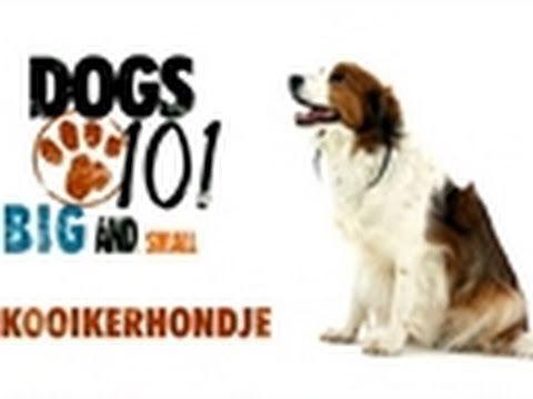 Dogs 101- Kooikerhondje - YouTube