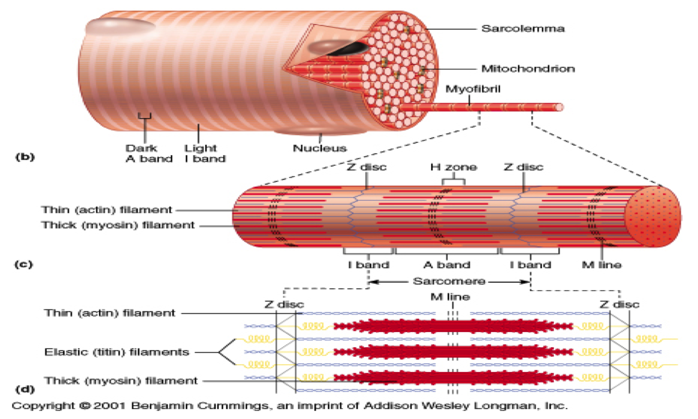 skeletal muscle fiber labeled - google search | education is key