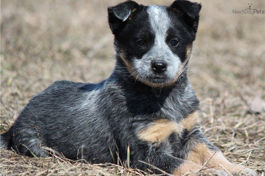 Australian+Cattle+Dog+Puppies Black Australian Cattle