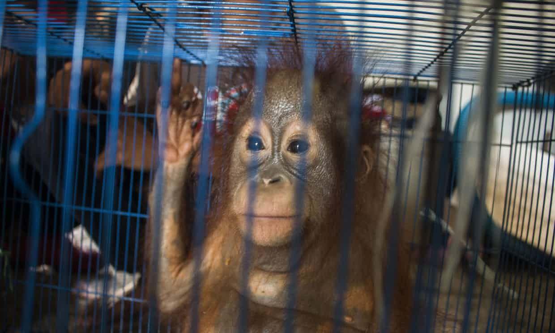 Uk Charity Helps Rescue Two Orangutans In Borneo From Illegal Sale Orangutan Animals Baby Orangutan