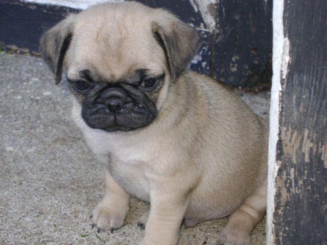Pug Puppy Puppies Pugs French Bulldog
