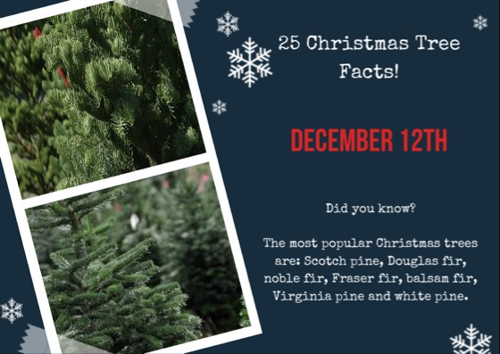 25 Christmas Tree Facts Fraser Fir Balsam Tree