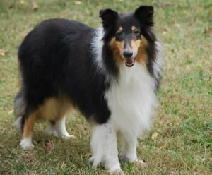 Adopt Coco On Rough Collie Collie Collie Rescue