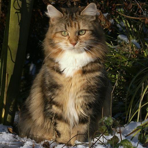 Welche katzenrasse haben wir norwegische waldkatze oder for Welche poolfolie 0 6 oder 0 8