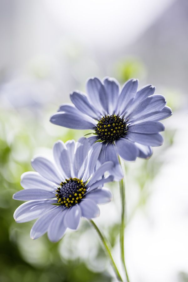 ~~Meant to be together | Cape Daisies | by Claudia Samples~~ #wildflowers
