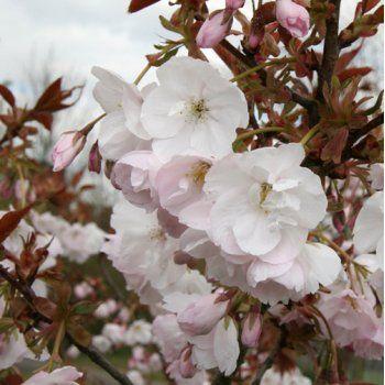 Prunus Nipponica Kurilensis Brilliant Tree Flowering Cherry Tree Japanese Cherry Tree Cherry Tree