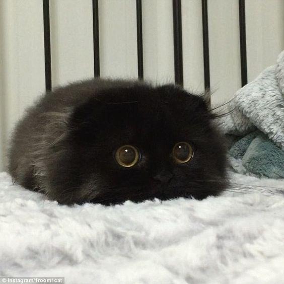 Black fluffy scottish fold kitty scottishfold blackcat