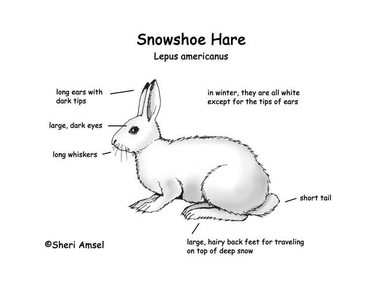 Snowshoe Hare Snowshoe Hare Snowshoe Rabbit Arctic Hare