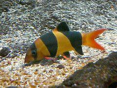 Aquarist Fishkeeping Shopping Pages Fish Clown Loach Freshwater Aquarium Fish
