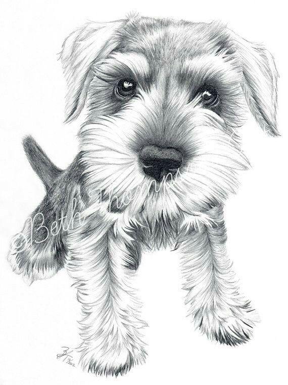 Beautiful Schnauzer Sketch Schnauzer Dibujos De Perros Perros Y