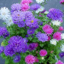 Aster Fireworks Bonsai Seeds Big Flowers Chrysanthemum