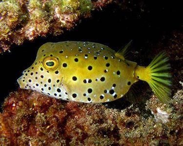Cubicus Boxfish Aka Yellow Boxfish Aquarium Fish Saltwater Tank Reef Aquarium