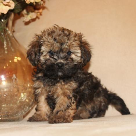 Shihtzu Poodle Poochon Bich Poo Mixed Breeds Shihpoo Toy Poodle
