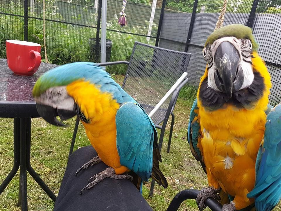 We Have A Pair Of Blue And Gold Macaw Parrots Available For Sale