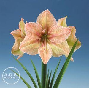 Amaryllis dutch 39 exotica 39 amaryllis flores plantas for Azucena plantas jardin
