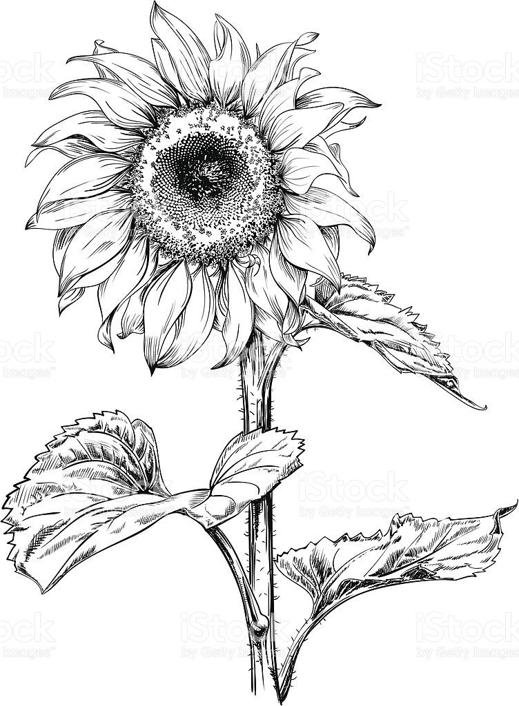Line Drawing Sunflower Tattoo : Hand drawn vector artwork in pen ink style of a
