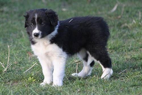 border collie puppy  hunde welpen hundewelpen hunde