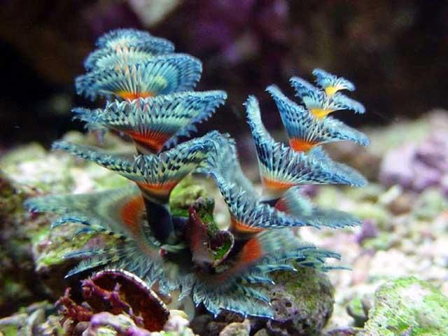 Invertebrate Spotlight Christmas Tree Worms Deep Sea Creatures Sea Creatures Saltwater Aquarium Fish