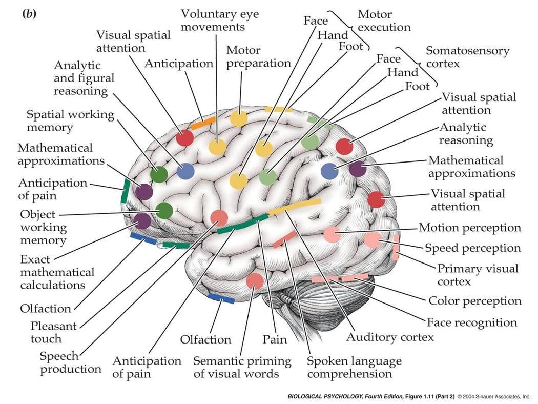 Pin by Emily Boring on Psychology!!! | Brain diagram ...