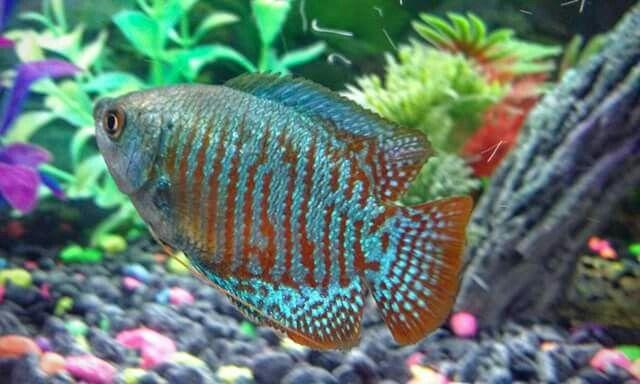 My Neon Blue Dwarf Gourami Fish Pet Fish Pets