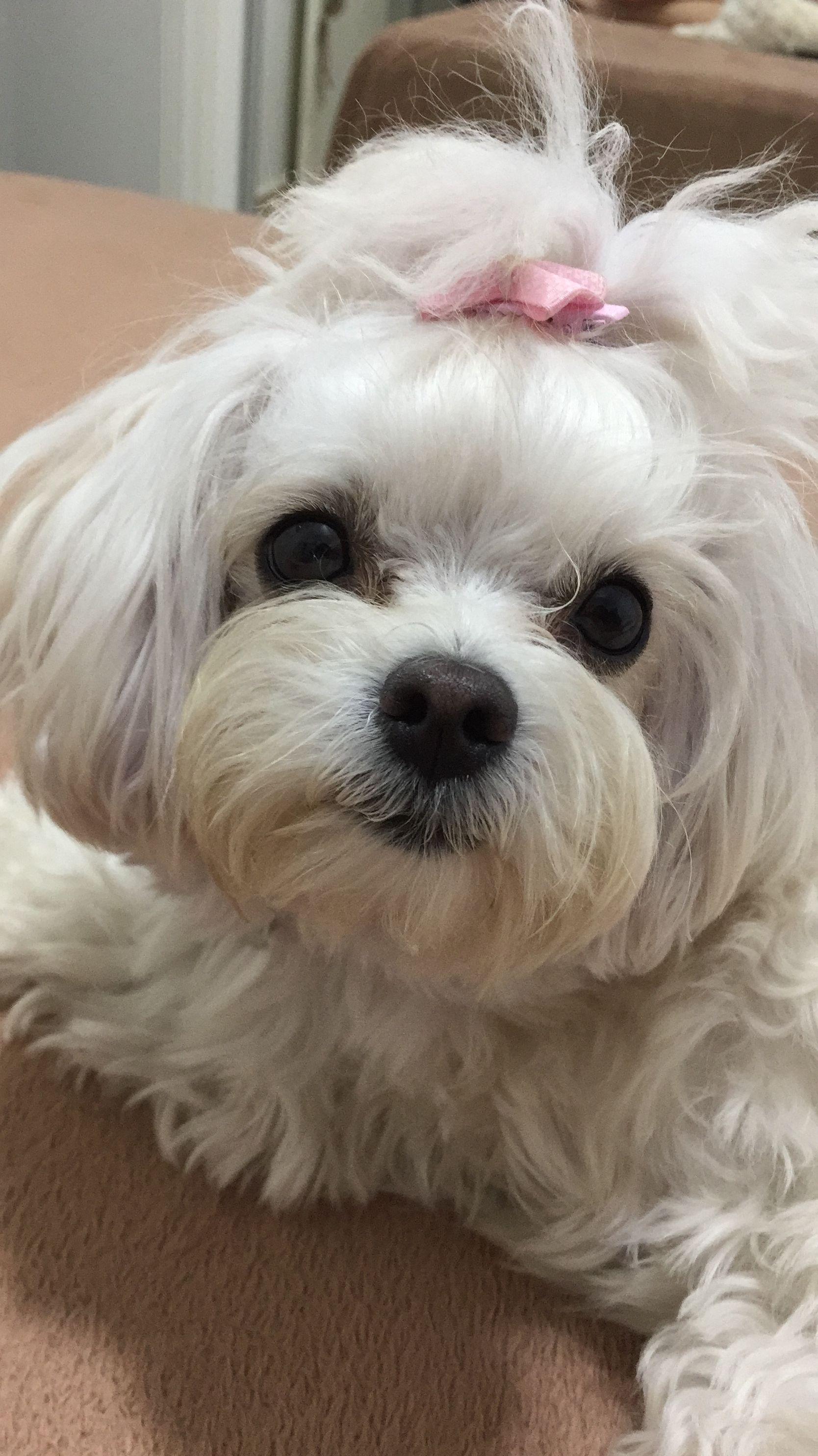 Maltese hello maltese pinterest maltese dog and animal