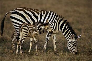 Zebras are common zebrid animals with black and white strips to confuse the predators. They are found to the north of Orange river system, southern Botswana, Etosha and the Kaokoveld, Swaziland and Kwazulu-Natal.