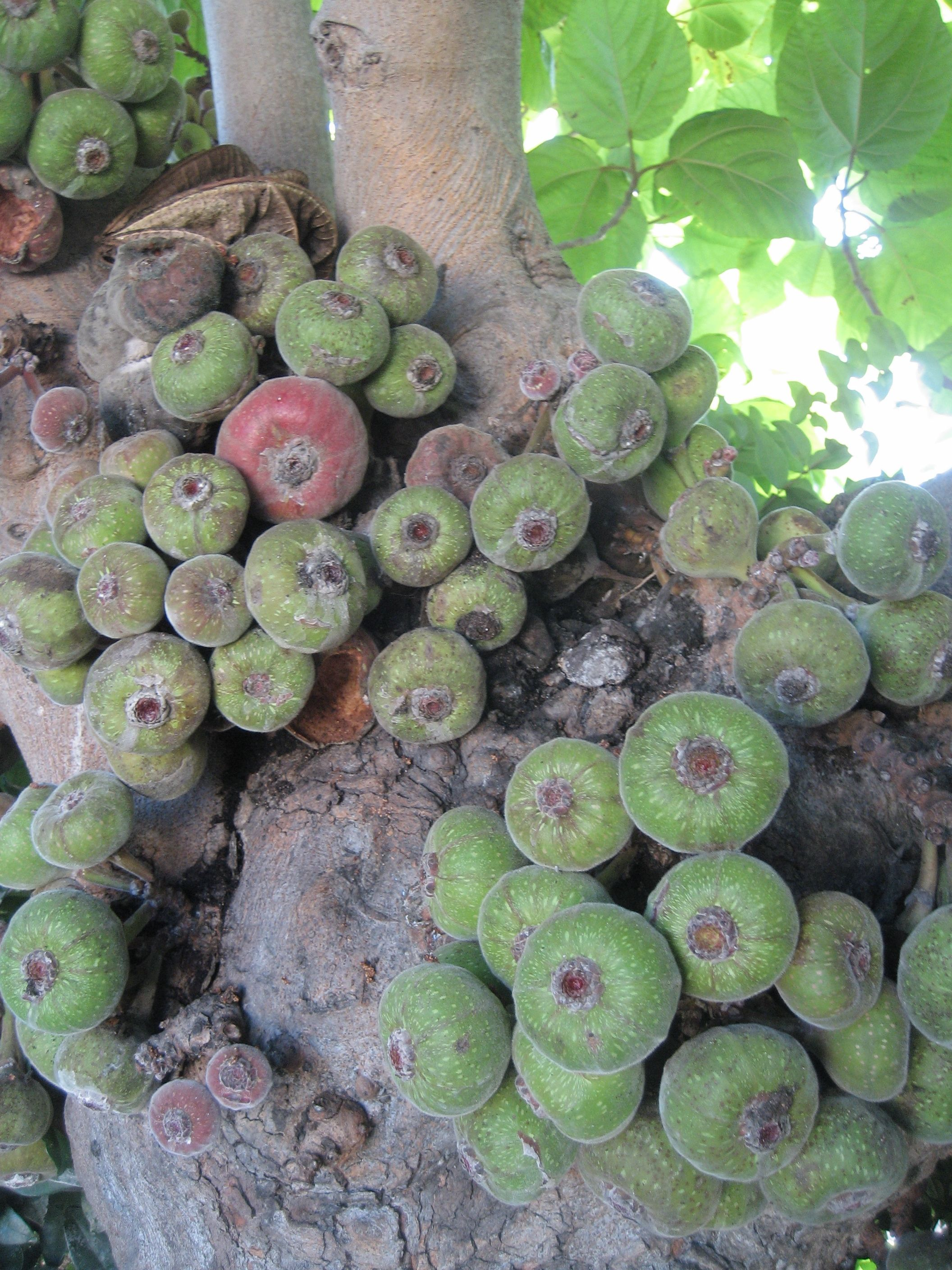 Poisonous Fig Tree