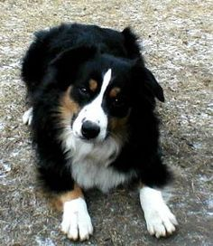 Black Border Collie Australian Shepherd Mix Google Search