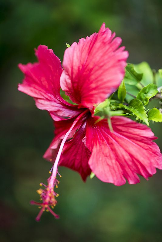 Red Hibiscus Portrait Beautiful Flowers Pictures Beautiful Flowers Garden Beautiful Flowers
