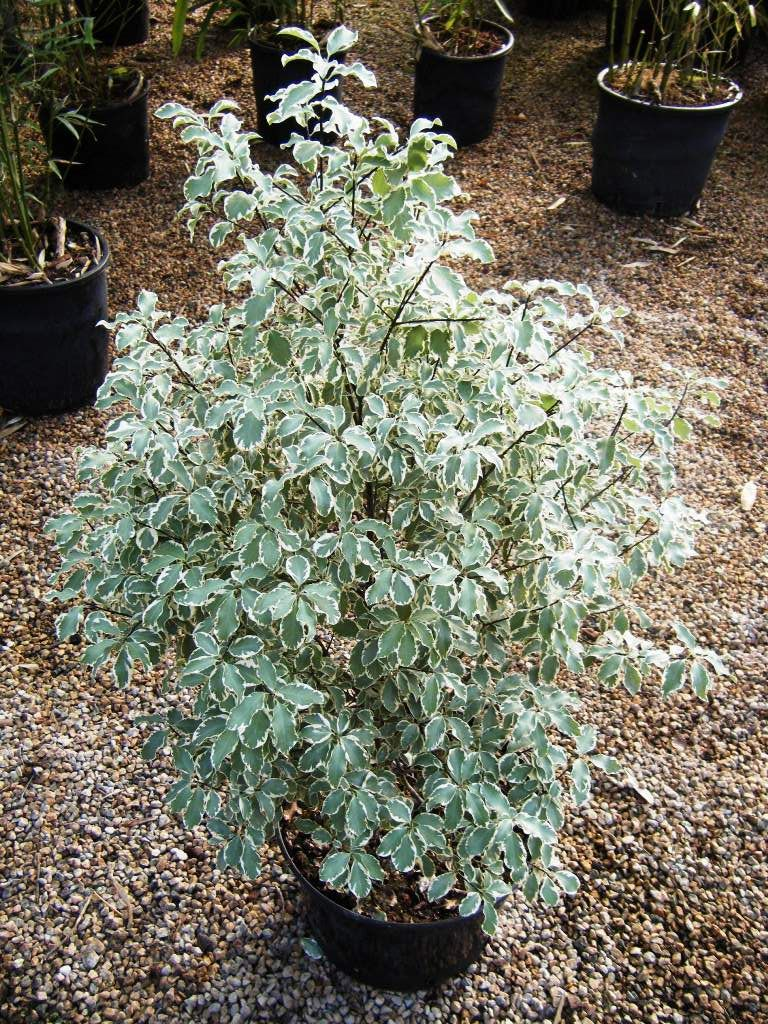 pittosporum tenuifolium variegatum 2 plantes pour jardins m diterran en pinterest. Black Bedroom Furniture Sets. Home Design Ideas