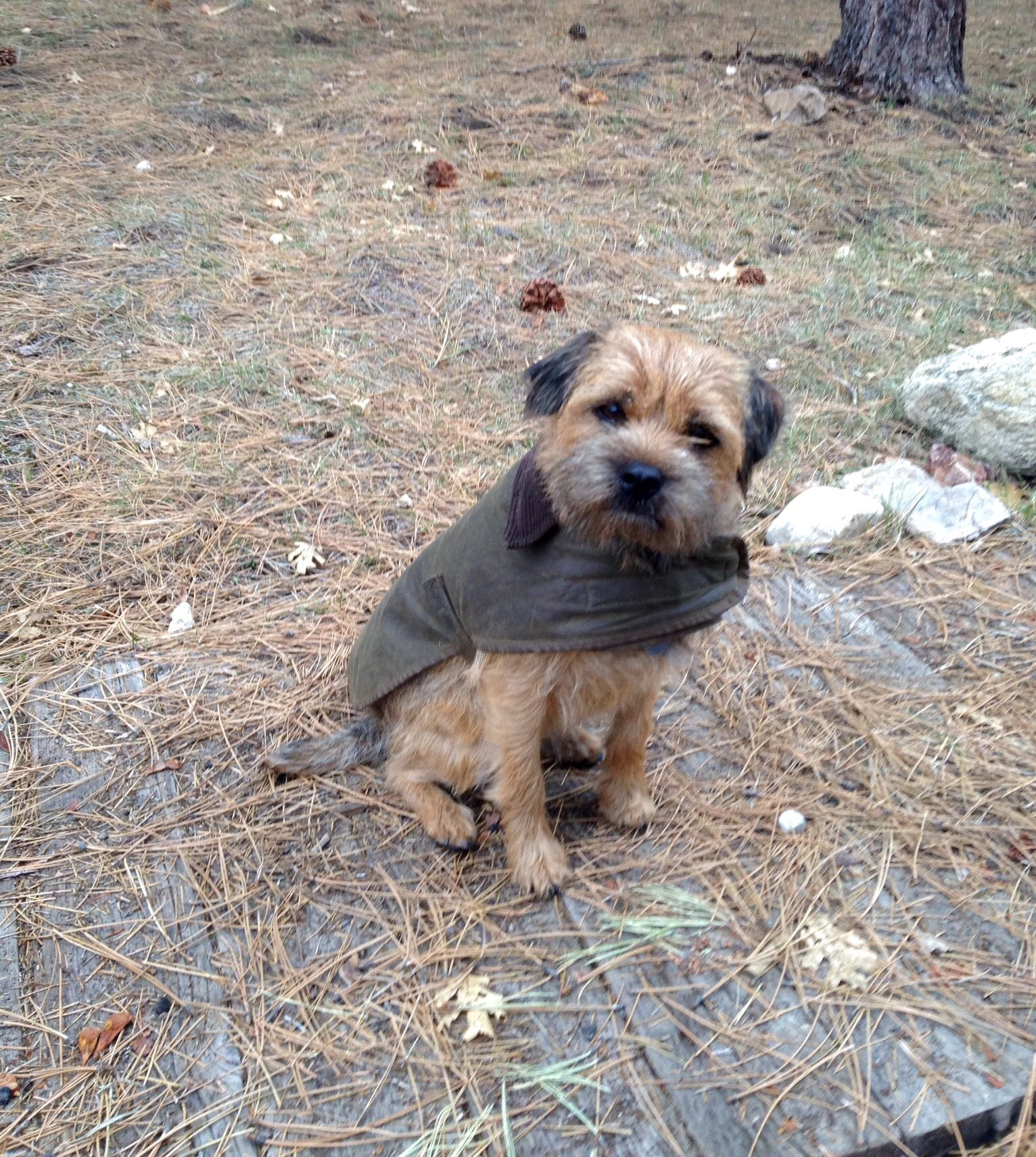 Jack The Border Terrier Sporting His Barbour Field Coat Border