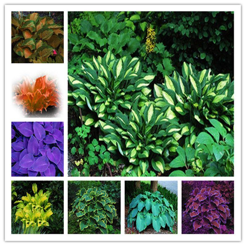 20 pcs/rare pack Hosta Graines Vivaces Fleur De Lys Blanc Dentelle BRICOLAGE Maison Jardin Plante Couvre-sol livraison gratuite