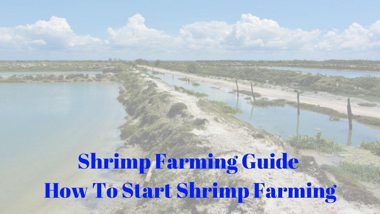 Shrimp Farming Guide How To Start Shrimp Farming