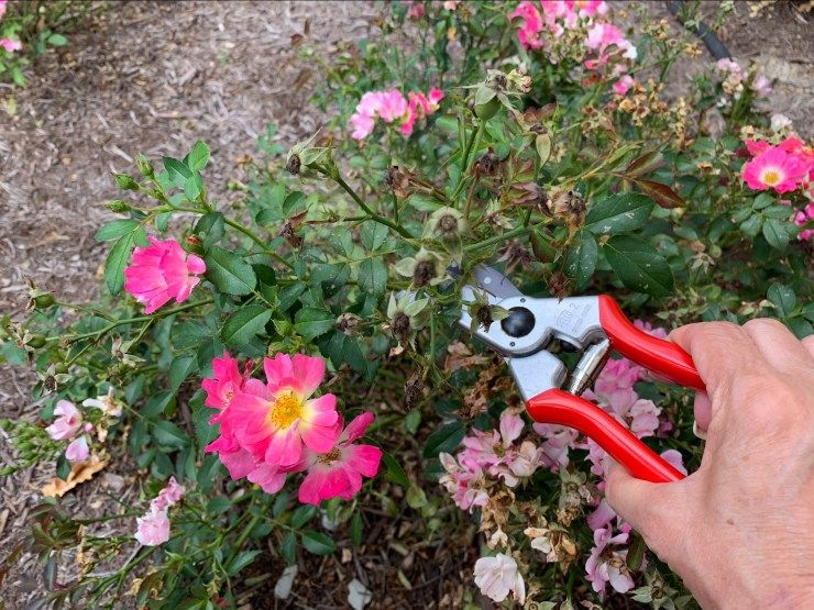 Caring For Rose Bushes And Keeping The Deer Away Rose Bush