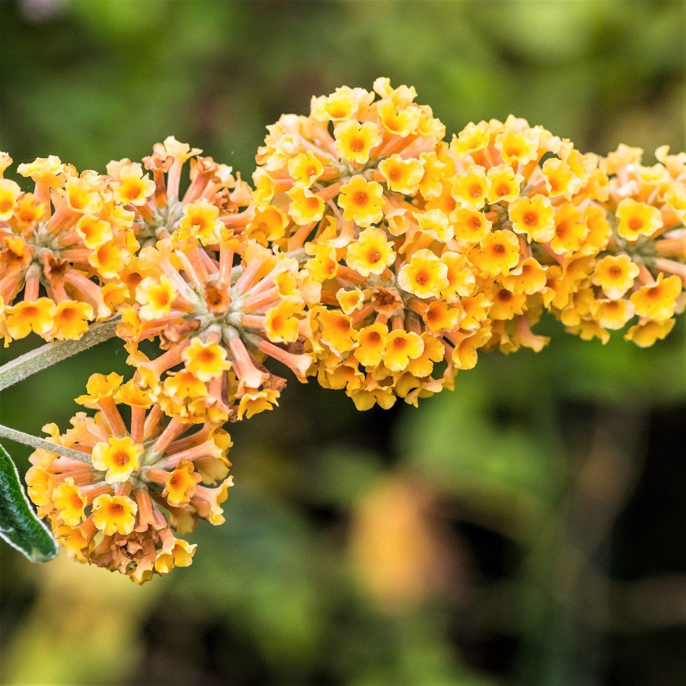 Allium Ampeloprasum Log Planter Succulents Butterfly Bush