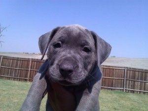 Blue Pitbull Mastiff Puppies Cute Baby Animals Mastiff Puppies