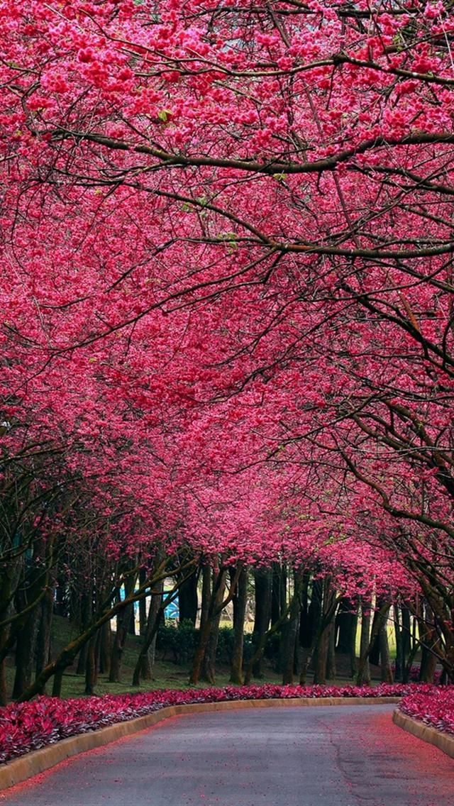Awesome Sakura Trees Wallpapers For Iphone 5 Pink Wallpaper