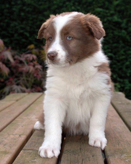 Funniespet Com Dog Breeds That Dont Shed Dog Breeds Medium Dog Breeds