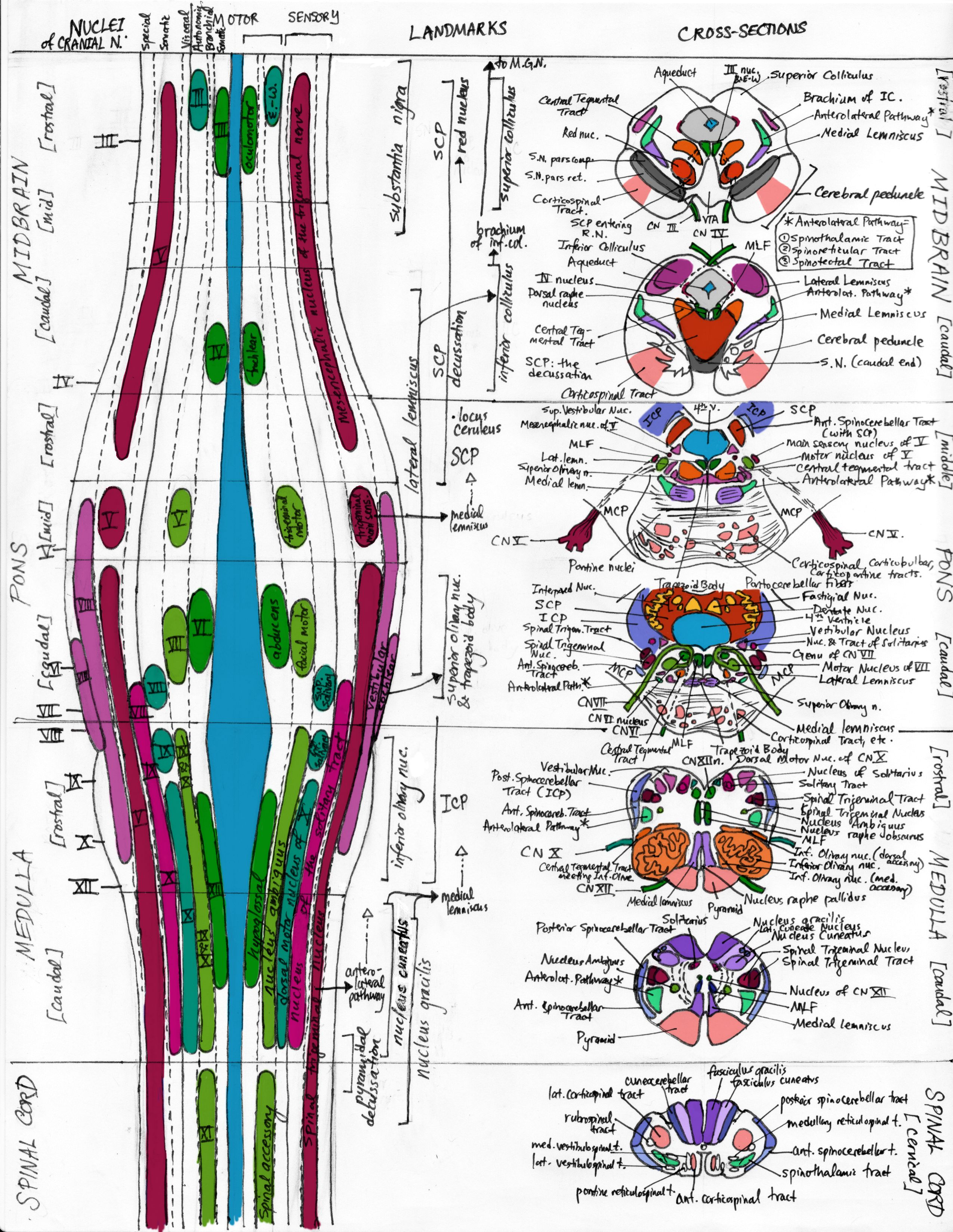 In vertebrate anatomy the brainstem (or brain stem) is the posterior ...