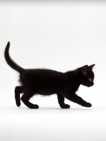 Domestic Cat 9 Week Black Kitten Profile Walking Photographic Print Jane Burton Allposters Com In 2020 Black Kitten Domestic Cat Cats And Kittens