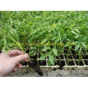 Ayer anunciaban los amigos de Huerta Barbereta que ya estaba sembrada la Albahaca para este  2012. Hoy hemos visto que ya tienen a la venta la planta de tomate rosa.