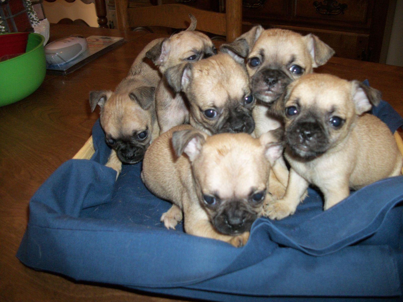 Teacup Chug Puppies Chug Puppies Chiweenie Puppies Baby Dogs