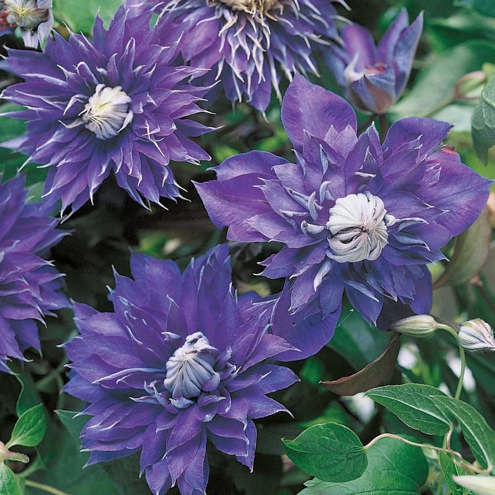 clematis multi blue clematis flowers and gardens. Black Bedroom Furniture Sets. Home Design Ideas