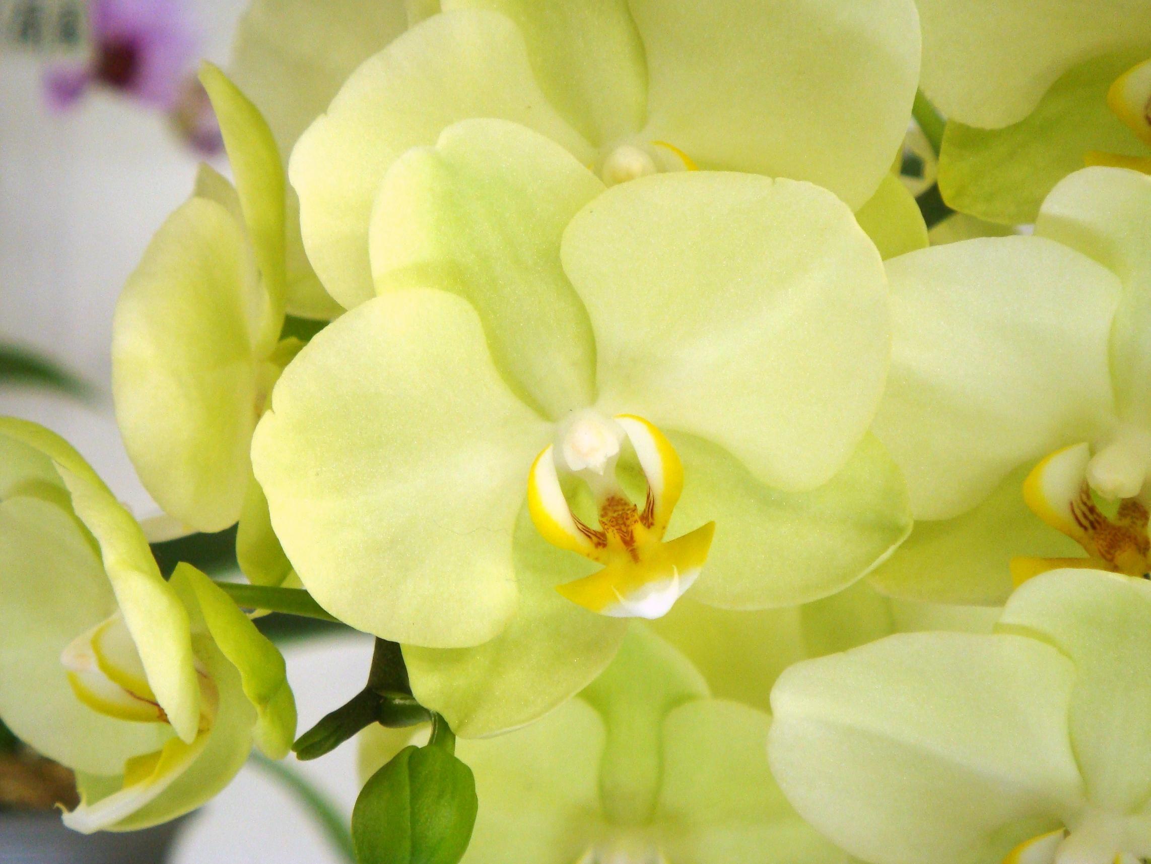 Phal Diamond King | phalaenopsis joy no a x evelyn weaver no c phalaenopsis