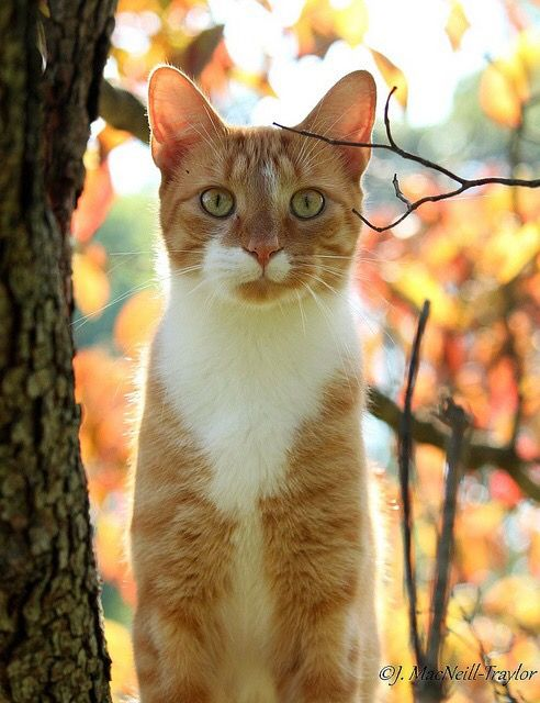 Pin By Amanda May On Gettin Catty Beautiful Cats Ginger Cats Orange And White Cat